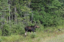 Wild Moose!